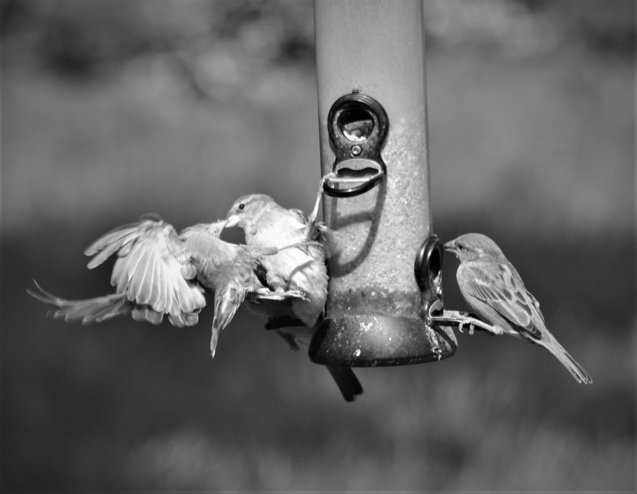Kissing sparrows